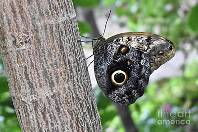 Farm Life Paintings Rob Moline - Giant Forrest Owl Butterfly by Ron Long