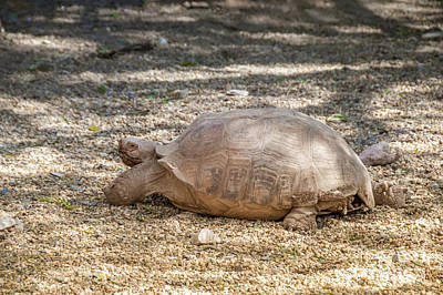 Photograph - Giant tortoise resting by Beautiful Things