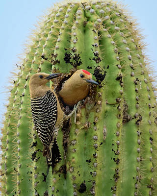 Mark Myhaver Rights Managed Images - Gila Woodpecker Couple v20083 Royalty-Free Image by Mark Myhaver