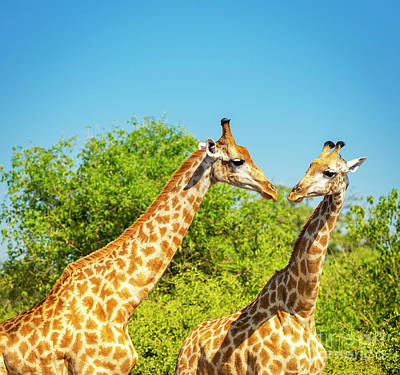Royalty-Free and Rights-Managed Images - Giraffe in Africa by THP Creative
