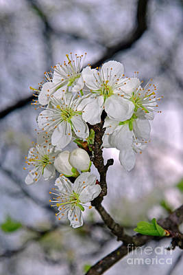 From The Kitchen - Glamour of cherry blossoms by Tibor Tivadar Kui