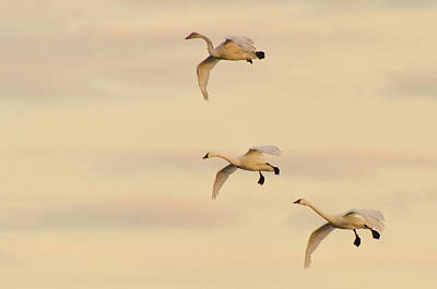 Photograph - Gliding Among the Pastel Clouds by Beth Sawickie