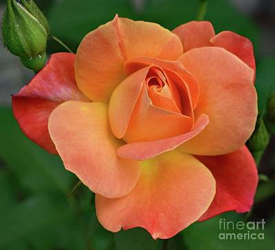From The Kitchen - Gods Perfection In A Josephs Coat Of many Colors Rose by Cindy Treger
