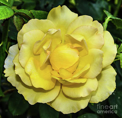 A White Christmas Cityscape - Gold Struck Rose Perfection by Cindy Treger