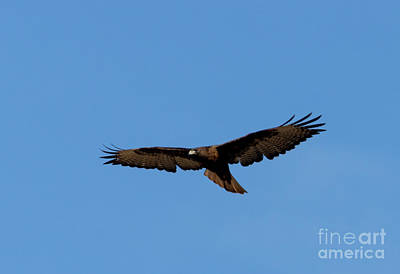 Keith Richards - Red-Tailed Hawk  in Flight by Steven Krull