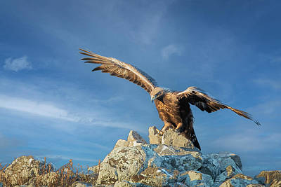 Winter Animals - Golden eagle by Jivko Nakev