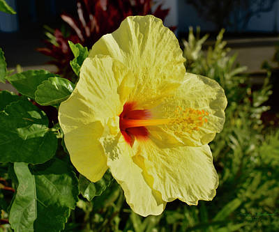 Just Desserts Rights Managed Images - Golden Hibiscus in Hawaii Royalty-Free Image by Gary F Richards