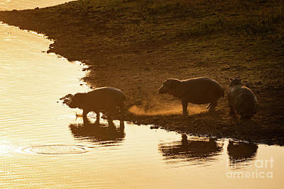 Bath Time Rights Managed Images - Golden Hippos Royalty-Free Image by Jamie Pham