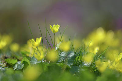 Bringing The Outdoors In - Golden Lights of Ranunculus Ficaria by Jenny Rainbow