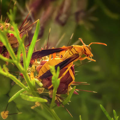 Mark Myhaver Photo Rights Managed Images - Golden Paper Wasp s2038 Royalty-Free Image by Mark Myhaver