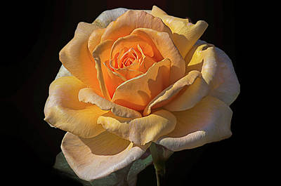 Photograph - Golden Rose by Scott Thomas Images
