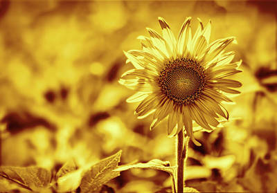 Sean Rights Managed Images - Golden Sunflower Royalty-Free Image by Francis Sullivan