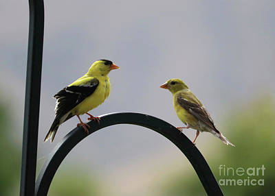 Amy Weiss - Goldfinch Pair by Carol Groenen