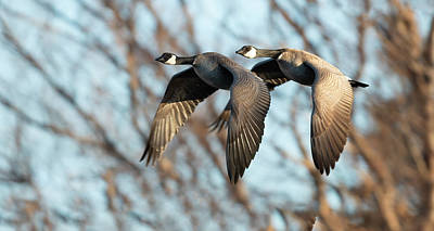 Birds Rights Managed Images - Goose with a tail gater Royalty-Free Image by Gary Langley