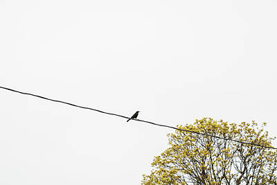 Photograph - Grackle on Wire by Exploration Project