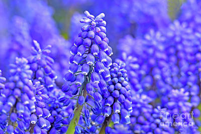 Royalty-Free and Rights-Managed Images - Grape Hyacinth Flowers by Regina Geoghan