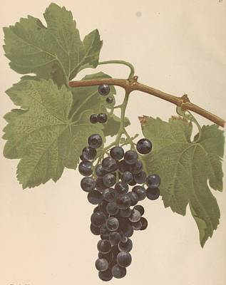 Priska Wettstein Pink Hues Royalty Free Images - grapes from the Gironde and the South West by Daurel Joseph 3 Royalty-Free Image by Artistic Rifki