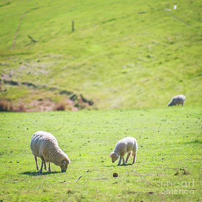 Royalty-Free and Rights-Managed Images - Grazing Sheep by THP Creative