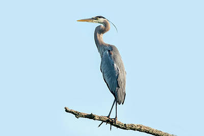 Amy Weiss - Great Blue Heron 2020 06 by Judy Tomlinson