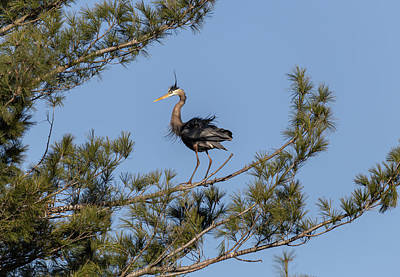 Wilderness Camping - Great Blue Heron 2020-5 by Thomas Young