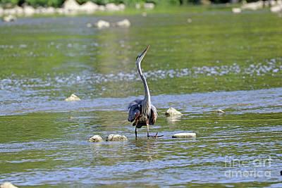 Animal Portraits - Great Blue Heron  3854 by Jack Schultz