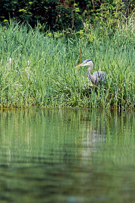 Animals Photos - Great Blue Heron Feeding #1 by Steve Keyser