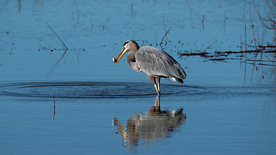 Classic Christmas Movies - Great Blue Heron fishing by Rodger Crossman