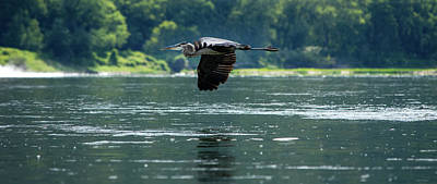 Photograph - Great Blue Heron Flying by Crystal Wightman