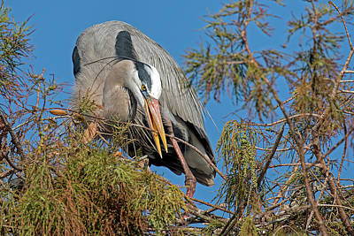 Animals Royalty-Free and Rights-Managed Images - Great Blue Heron Grabbing a Branch 3126 by Matthew Lerman