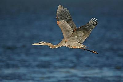 Lori A Cash Royalty-Free and Rights-Managed Images - Great Blue Heron in Flight by Lori A Cash
