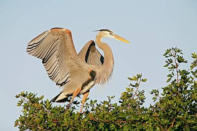 Lori A Cash Royalty-Free and Rights-Managed Images - Great Blue Heron Landing by Lori A Cash