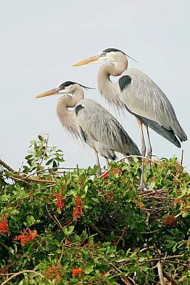 Lori A Cash Royalty-Free and Rights-Managed Images - Great Blue Heron Pair by Lori A Cash