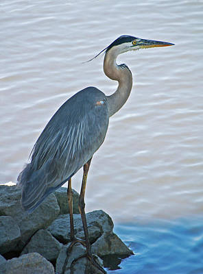 Animals Photos - Great Blue Heron Portrait by Suzanne Gaff