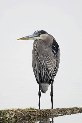 Lori A Cash Royalty-Free and Rights-Managed Images - Great Blue Heron Standing in Water by Lori A Cash