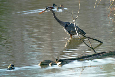 Animals Royalty-Free and Rights-Managed Images - Great Blue Heron Stocking by Edward Peterson