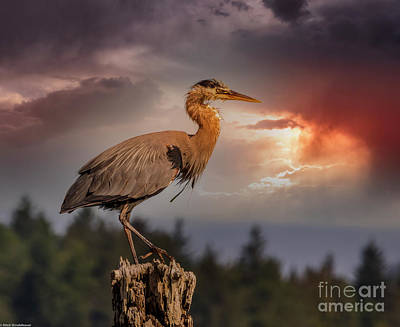 Fruits And Vegetables Still Life - Great Blue Heron Sunset 1 by Mitch Shindelbower