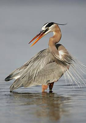 Lori A Cash Royalty-Free and Rights-Managed Images - Great Blue Heron Twisting by Lori A Cash