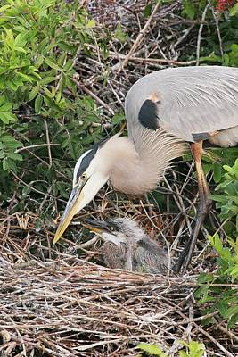 Lori A Cash Royalty-Free and Rights-Managed Images - Great Blue Heron with Chick by Lori A Cash