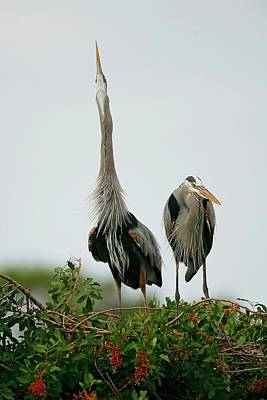 Lori A Cash Royalty-Free and Rights-Managed Images - Great Blue Herons Breeding Display by Lori A Cash