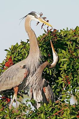 Lori A Cash Royalty-Free and Rights-Managed Images - Great Blue Herons Building Nest by Lori A Cash