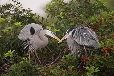 Lori A Cash Royalty-Free and Rights-Managed Images - Great Blue Herons Display by Lori A Cash