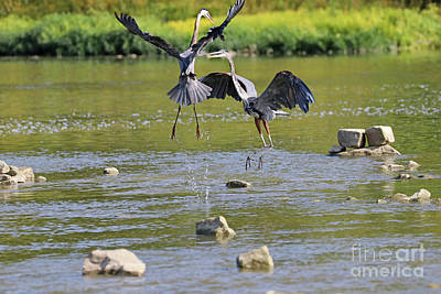 Animal Portraits - Great Blue Herons Fighting Over Fishing Spot  3860 by Jack Schultz