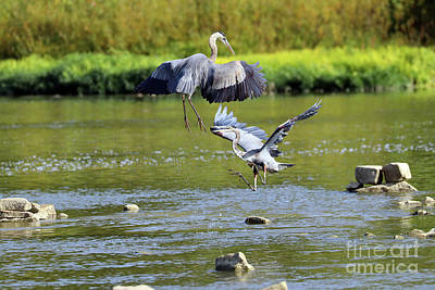 Animal Portraits - Great Blue Herons Fighting Over Fishing Spot  3861 by Jack Schultz