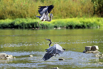Animal Portraits - Great Blue Herons Fighting Over Fishing Spot  3862 by Jack Schultz
