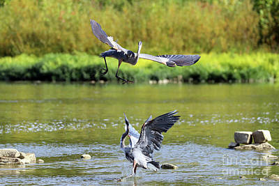 Animal Portraits - Great Blue Herons Fighting Over Fishing Spot  3863 by Jack Schultz