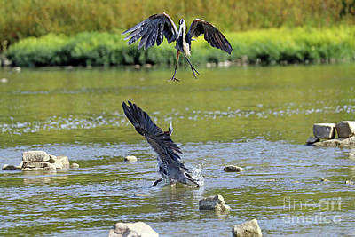 Animal Portraits - Great Blue Herons Fighting Over Fishing Spot  3864 by Jack Schultz