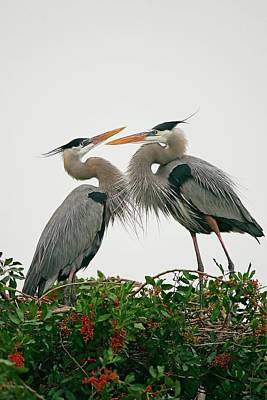 Lori A Cash Royalty-Free and Rights-Managed Images - Great Blue Herons Mating Ritual by Lori A Cash