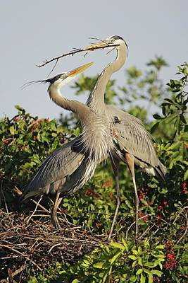Lori A Cash Royalty-Free and Rights-Managed Images - Great Blue Herons Nest Building by Lori A Cash