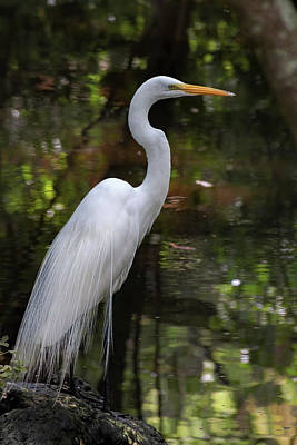 Animals Royalty-Free and Rights-Managed Images - Great Egret by David Beard