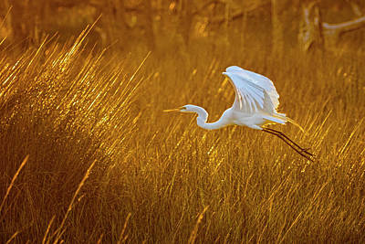 Animals Photos - Great Egret in Flight Over the Marsh at Sunset - Croatan Nationa by Bob Decker